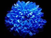 Blue dahlia Stock Photo