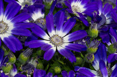 Blue daisies Royalty Free Stock Photo