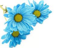 Blue Daisies on White Background Stock Images