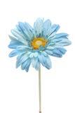 Blue daisy Royalty Free Stock Photography