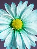 Blue daisy Royalty Free Stock Image