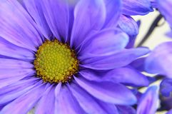 Blue Daisy with Yellow Center Flower Closeup royalty free stock photo