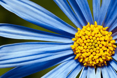 Blue daisy, close up Stock Images