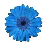 Blue Daisy Design Royalty Free Stock Photography