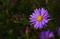 Blue daisy with dew drops stock images
