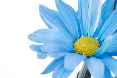 Blue Daisy Flower Close-up. A blue daisy flower close-up on a white background Royalty Free Stock Images