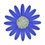 Blue Daisy Flower on A White Background Royalty Free Stock Image