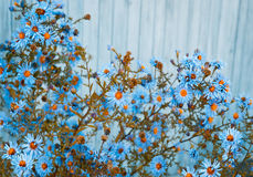 Blue daisy flowers on wooden background. Shallow depth of field Stock Image