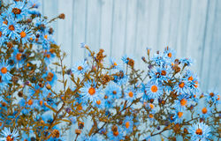 Blue daisy flowers on wooden background. Shallow depth of field Royalty Free Stock Images