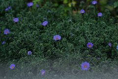 Blue daisy. In the garden Royalty Free Stock Image