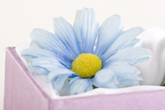 Blue daisy in gift box. A blue daisy decorating a pink gift box Royalty Free Stock Image