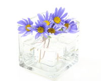 Blue daisy in the glass vase Royalty Free Stock Photo