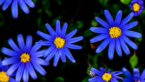 Blue Daisy Royalty Free Stock Images