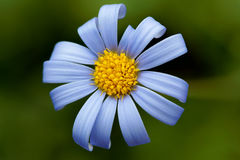 Blue daisy Stock Photography
