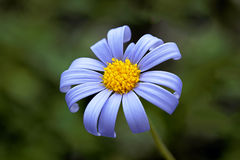 Blue daisy Stock Images
