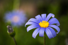 Blue Daisy Stock Photo