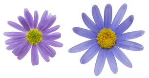 Blue daisy Royalty Free Stock Photo