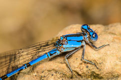 Blue Damesfly Side View. Side View of a Blue Damesfly on a rock Royalty Free Stock Photography