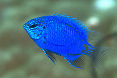 Blue damsel fish Royalty Free Stock Photos