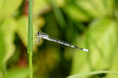 Blue Damsel fly eating a knat Royalty Free Stock Image