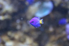 Blue damselfish in an aquarium. Facing the camera royalty free stock images
