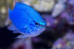Blue Damselfish. Closeup picture of a Blue Damselfish in a home aquarium Stock Image