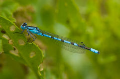 Blue damselfly Stock Photos