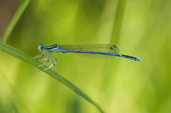 Free Blue Damselfly Royalty Free Stock Images - 15175139