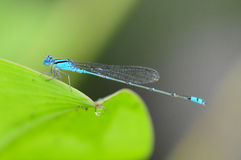Blue Damselfly Stock Images