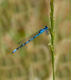 Blue damselfly. Against natural green meadow background Stock Image