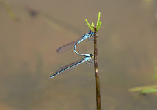 Blue damselfly Royalty Free Stock Photography