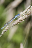Blue Damselfly Royalty Free Stock Images