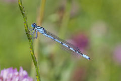Blue Damselfly Royalty Free Stock Image