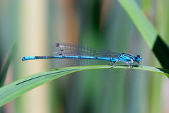 Blue damselfly Stock Photo