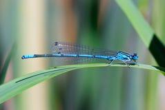 Blue damselfly. Coenagrion puella - macro detail of blue damselfly Stock Photo