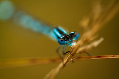 Blue damselfly in beautiful shallow depth of field Royalty Free Stock Photo