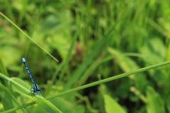 Blue Damselfly On a Blade of Grass. A blue damselfly perches on a blade of grass Royalty Free Stock Photo