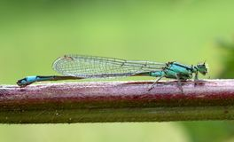 Blue damselfly Royalty Free Stock Photos