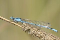 A blue damselfly on a dry grass stalk Stock Photos