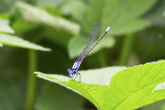Blue Damselfly on Edge of a Leaf Stock Photo