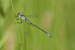 Blue damselfly heating on herb Royalty Free Stock Images