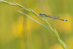 Blue damselfly heating on plant Royalty Free Stock Images