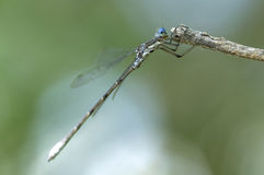 Blue damselfly on his branch.  Royalty Free Stock Photography