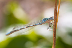 Blue Damselfly Stock Image
