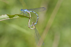 Blue Damselfly mating Stock Photos