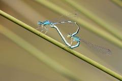 Blue damselfly mating act. Heart symbol Royalty Free Stock Photo