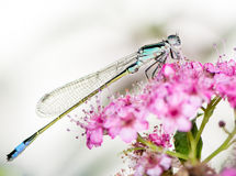 Blue Damselfly Royalty Free Stock Photo