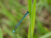 Blue damselfly on strand of grass Stock Image