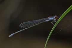 Blue damslefly. Blue damselfly in the parks Stock Photos