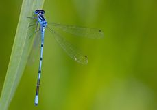 Blue damsselfly Royalty Free Stock Image